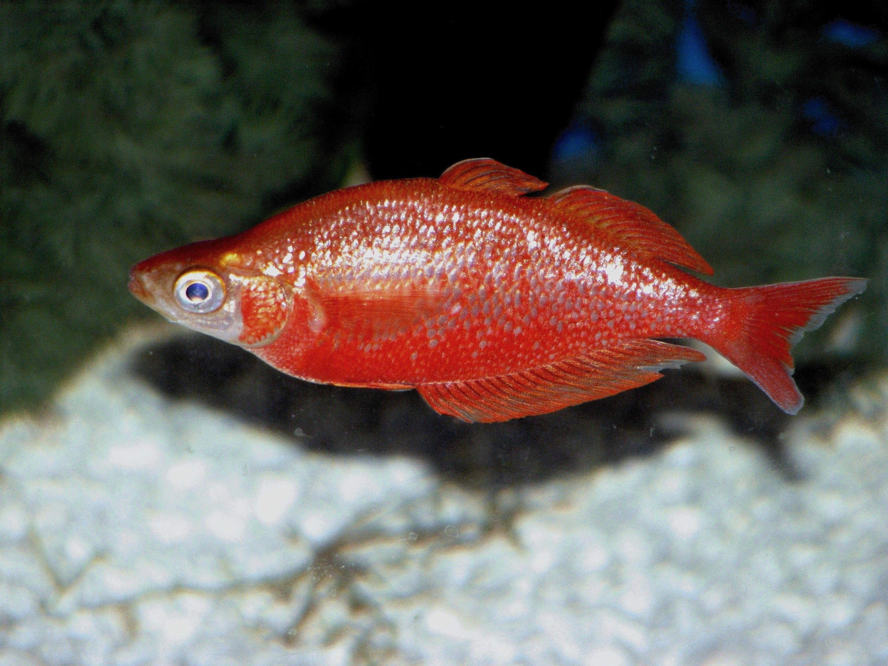 Cichlids Com Red Irian Rainbowfish Sea Creatures Fish Pet Cichlids