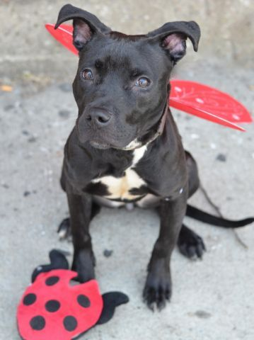 Royal A1037651 Pitbull Mix Dog Adoption Dog Safe