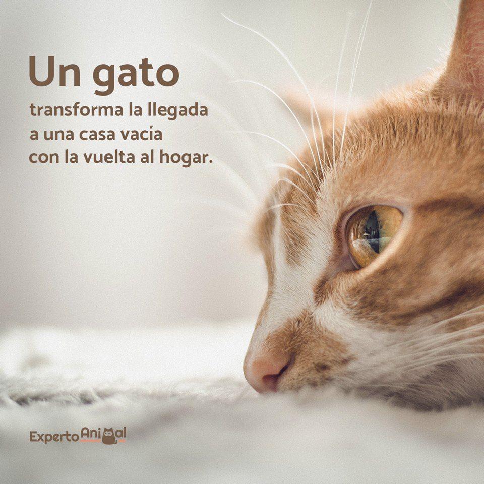 Ventajas De Adoptar Un Gato Adulto Gatos Gatos Bellos Y