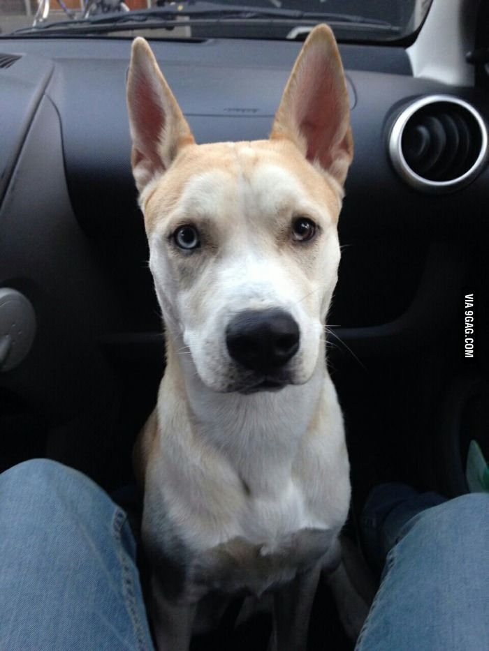 So This Is A Husky X American Stafford Stafford Terrier Cute
