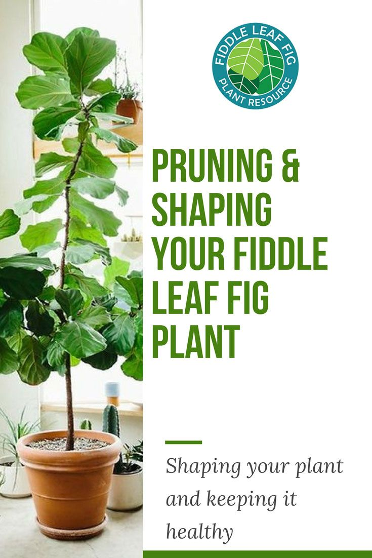 Pruning And Shaping Your Fiddle Leaf Fig Plant Fig Plant Fiddle Leaf Fig Fiddle Leaf Fig Care