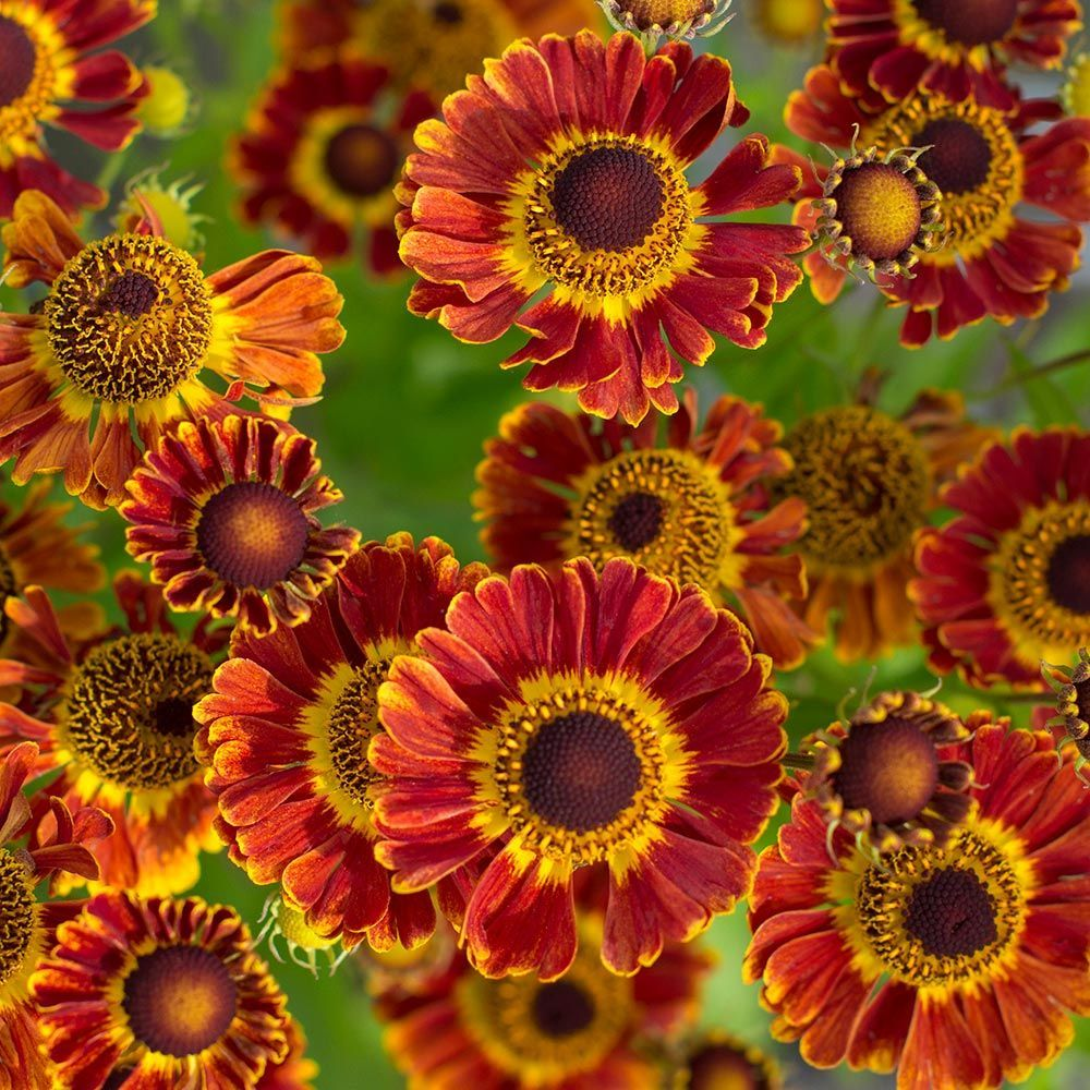 Bicolor Blooms Mixing Fiery Shades Of Orange Red And Yellow Arrive