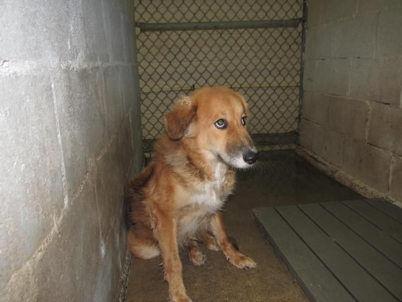 Adopt Hagan On Collie Dog Collie Collie Mix