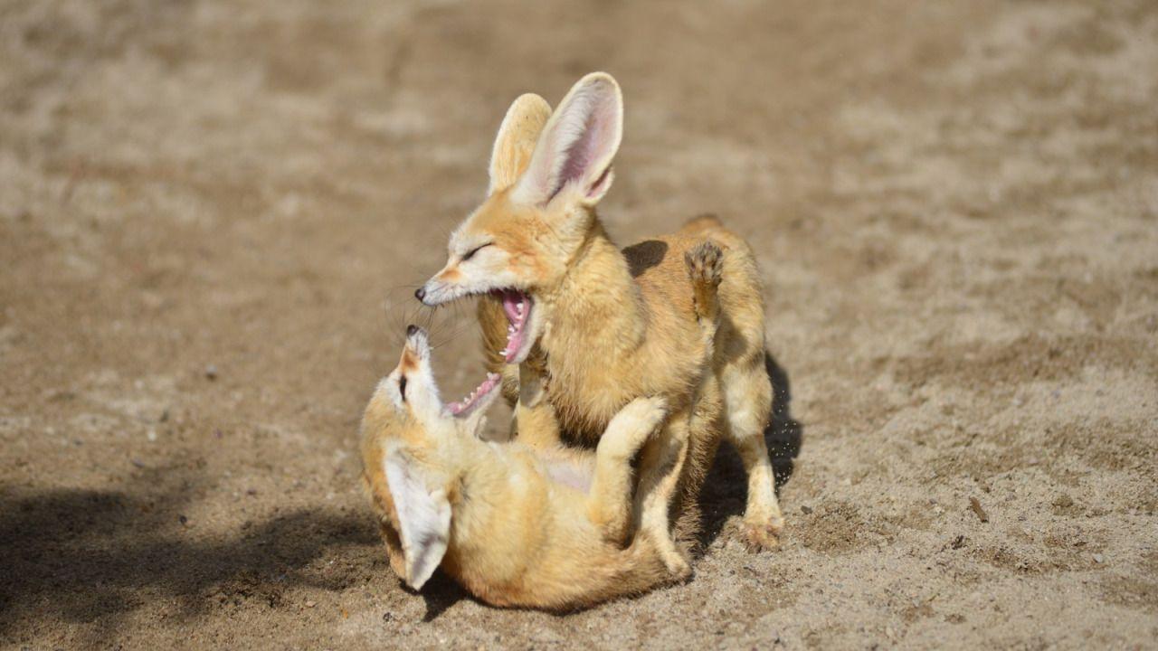 Fennec Foxes Fight Fennec fox, Super cute animals, Fox