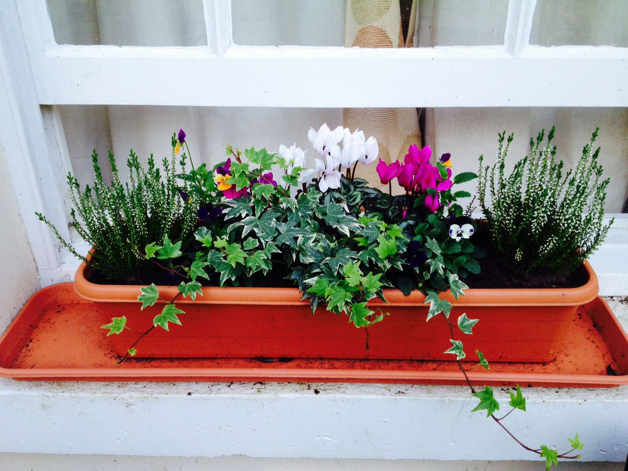 My Winter Window Boxes. Cyclamen, Sweet Violas, Heather Either End And Ivy  At