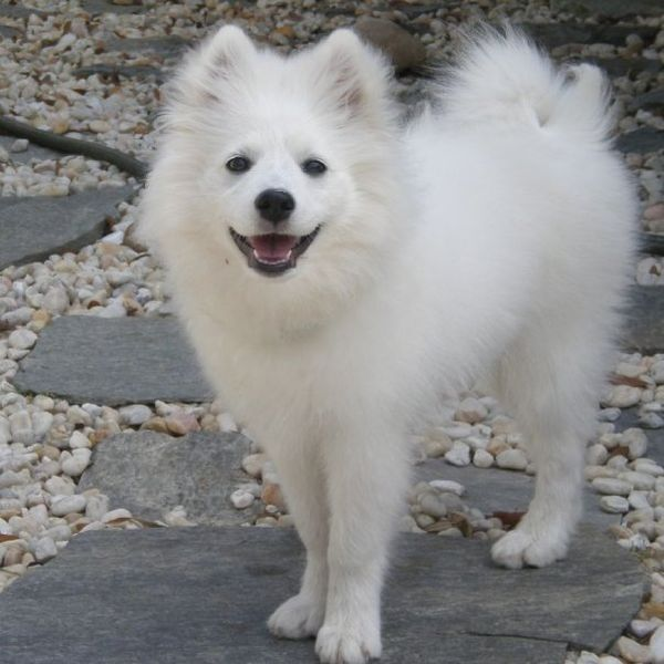 The Miniature American Eskimo Dog is very sociable with its family and great with kids, other dogs, and household pets. It might bark at strangers, but it is not aggressive.