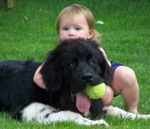 Newfoundlands Are The Nanny Dogs Very Good With Children And They Are A Water Dog And A Rescue Dog They Are Known Newfoundland Puppies Nanny Dog Baby Horses