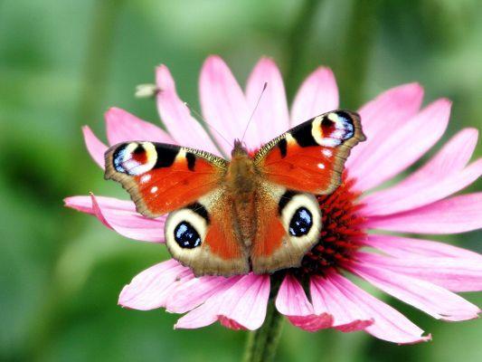 Peacock Butterfly Flower Wallpaper