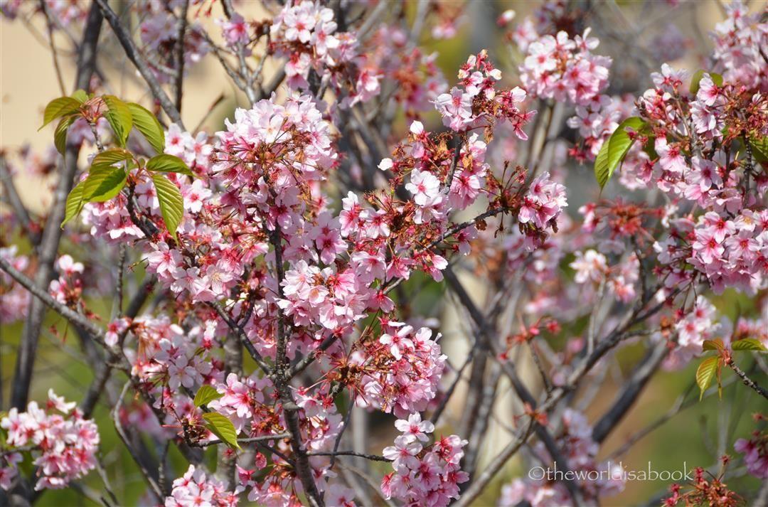 Spring at San Diego Japanese Friendship Garden and Balboa