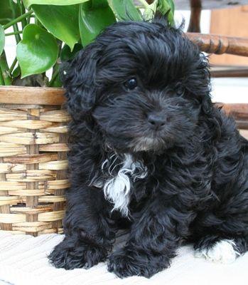 Lola Shih Puppiesdaily Puppy Shih Poo Puppies Shih Poo Puppies