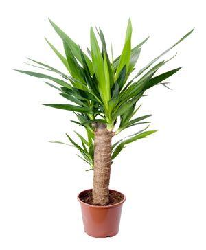 Yucca-Palmen richtig zurückschneiden - so verjüngen Sie ...