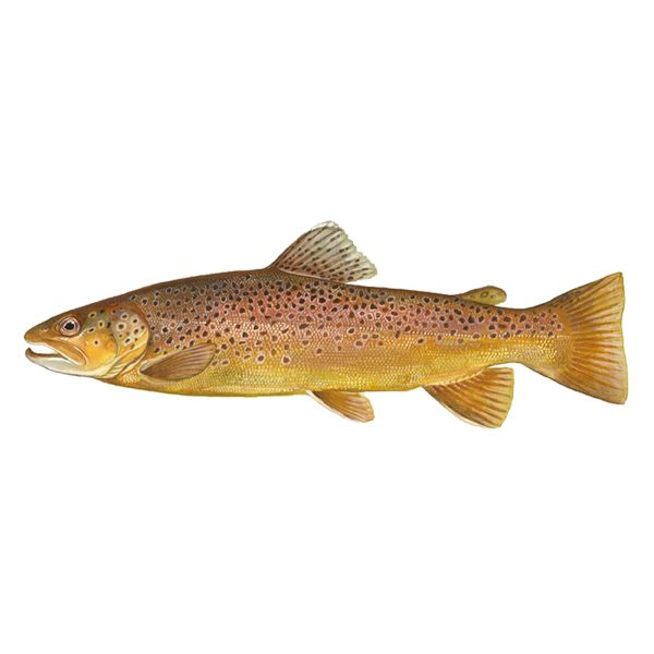 Brown Trout Free Download Brown Trout Fish Trout