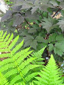 Tundra Monkey Gardening: Fun With Foliage. Native fern andCimicifuga.They both do well in the dry shade