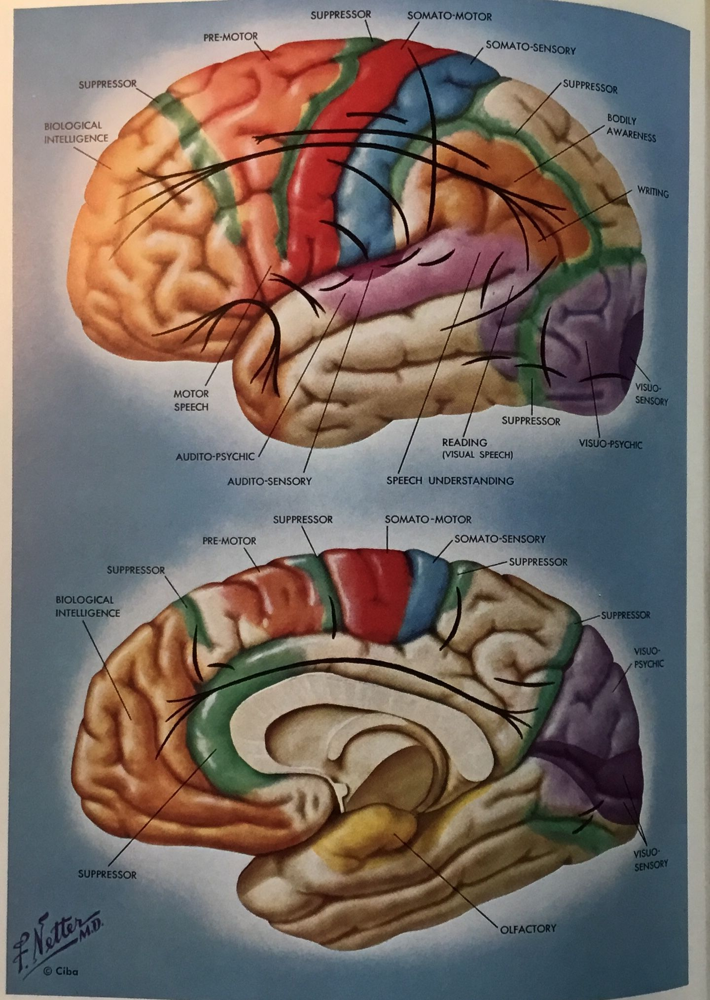 Drawing of brain by Frank Netter, MD. This is an actual drawing he ...