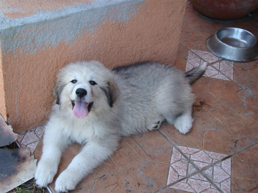 Lost Dog Great Pyrenees Osteen Fl United States Losing A