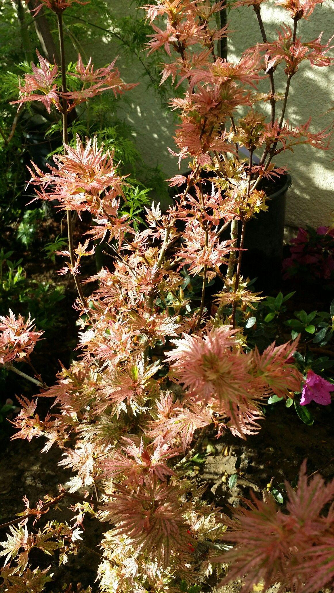 Abigail Rose Japanese maple | Japanese maples | Pinterest | Japanese ...