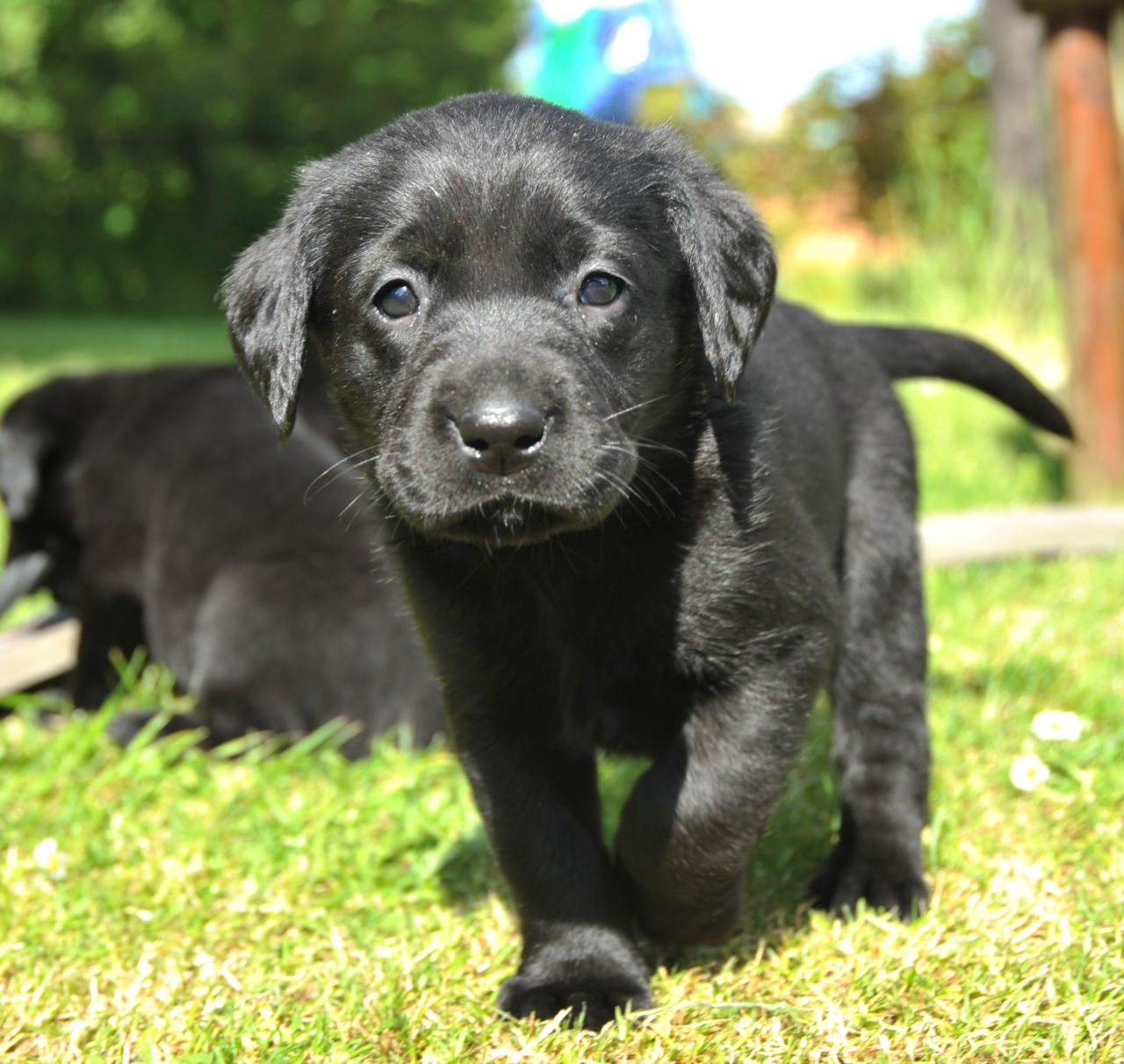 Black Lab Pups For Sale Rugby Warwickshire Pets4homes 5 Adorable Black Labrador Retriever Puppies In T In 2020 Lab Puppies Black Labrador Retriever Labrador Retriever