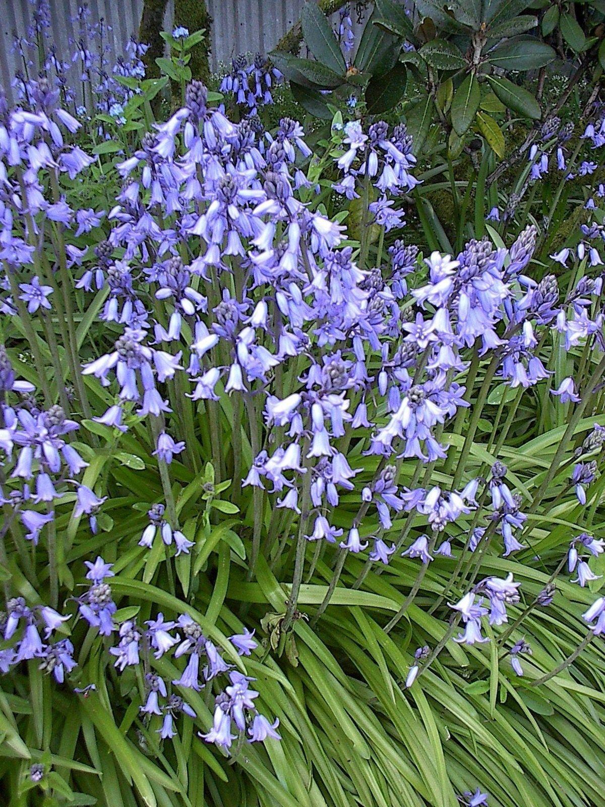 100 bluebell seeds wonderful spring flowering bluebells
