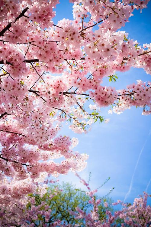 03633610 Blossom Trees Cherry Blossom Wallpaper Sakura Tree