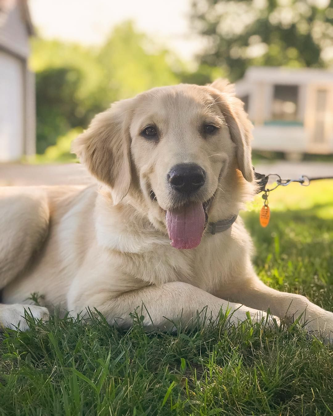 Pin by Mary Ann Dean Haden on Golden Retrievers (With