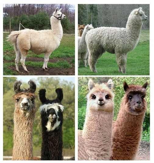 Alpaca Vs Llama, Animals