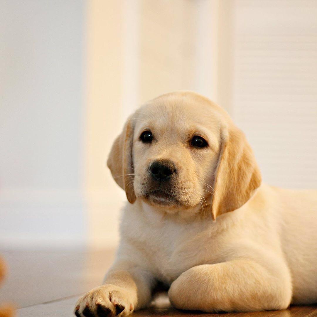 Picture Of Golden Labrador Retriever Dog
