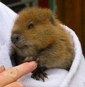 Beaver Baby Baby Biber Tierbabys Susseste Haustiere