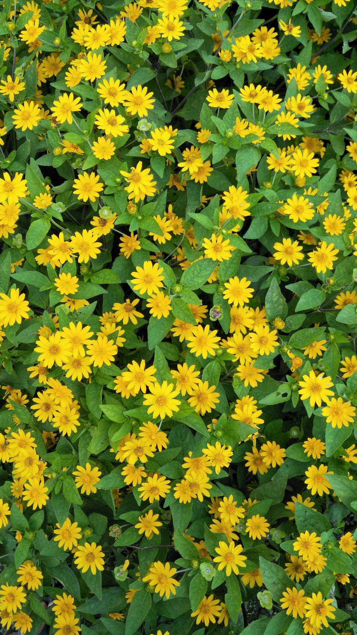 Bunga Kuning Berdaun Hijau Saya Tak Tahu Namanya Bunga Kuning Bunga Gambar Mode