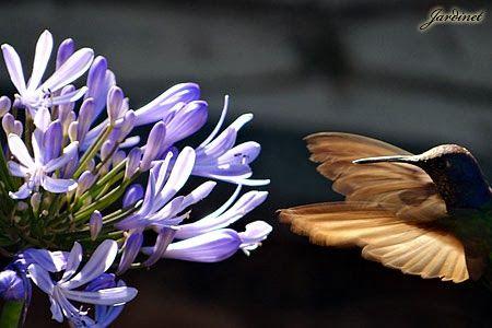 Beija-flor-Tesoura no Agapanto