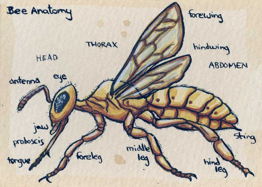 Bee Anatomy - Imageck | pollinators | Pinterest | Bees and Wasp
