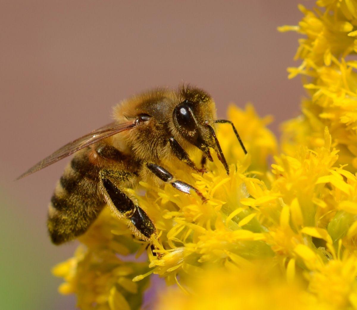 Honing Bij (Van vroegevogels)