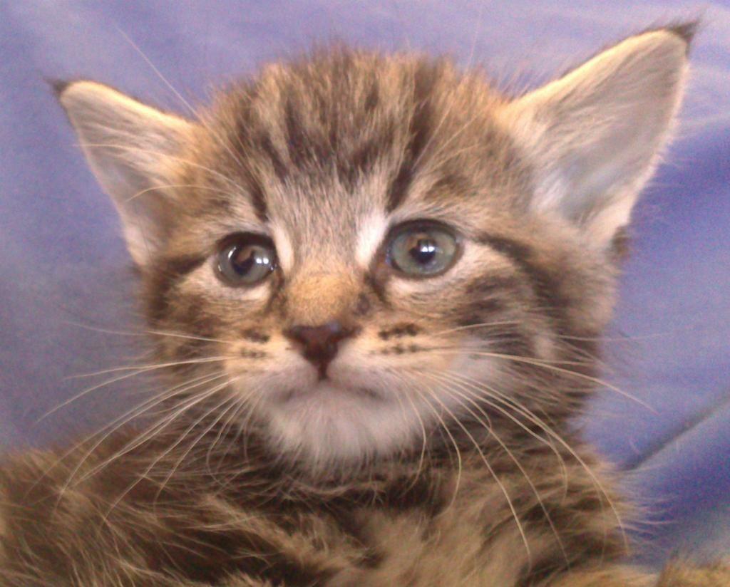 Kitten Kittens, Kitten for sale, Animals