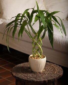 Dracaena Sanderiana Lucky Bamboo Information And Instructions To