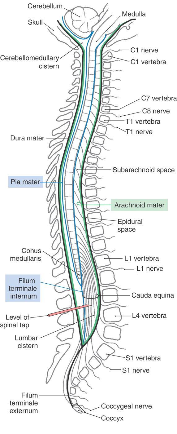 Pin By Suwadjana Thongsuk On Neuroanatomy Pinterest Spinal Cord