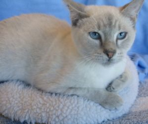 Gene Kelly Is An Adoptable Siamese Cat In Dallas Tx My Name Is Gene Kelly And I M Ready To Dance My Way Into Your Heart Nobod Cat Adoption Cats Siamese Cats