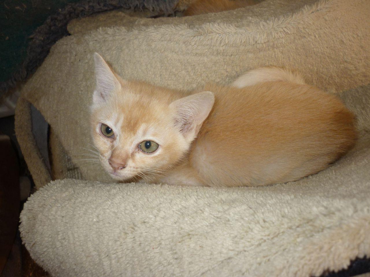Burmese Cat Cream Burmese Cat Sable Burmese Cat Champagne Burmese Cat 53fbfdcb9586f Jpg 1280 960