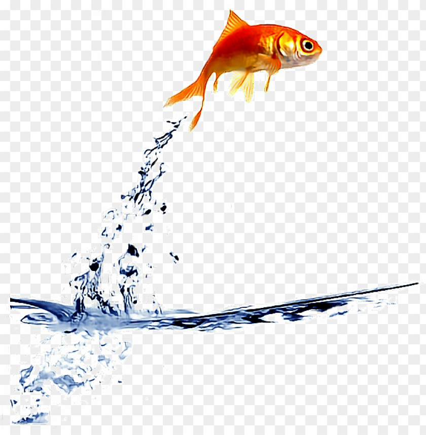 Ftestickers Goldfish Jump Fishstickers Fish Jumping Out Of Bowl Gif Png Image With Transparent Background Png Free Png Images Fish Jumps Koi Fish Drawing Watercolor Koi Fish