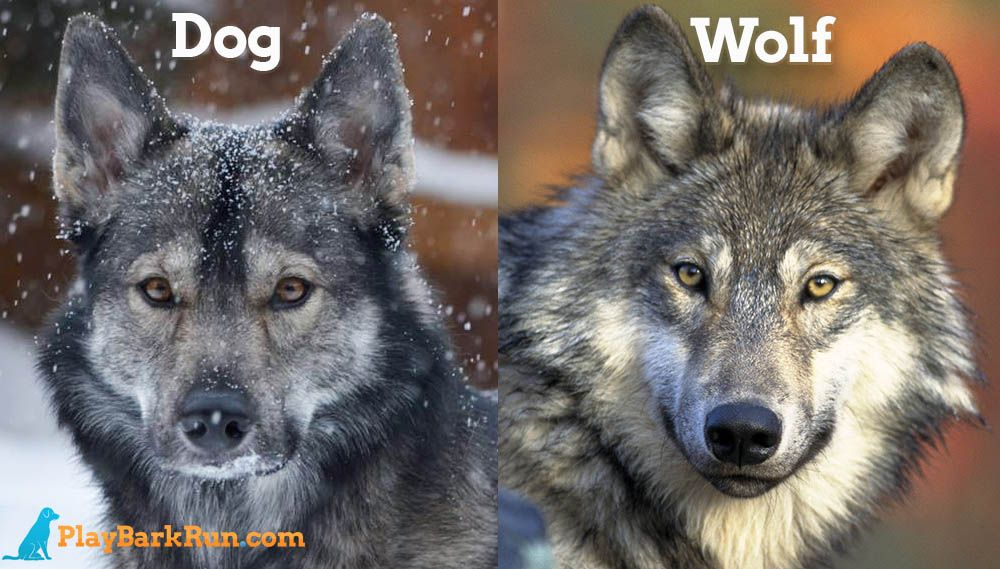 A Guide Of All The Dog Breeds That Look Just Like Wolves And