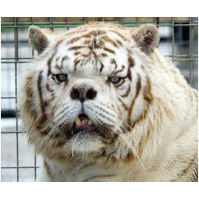 down syndrome tiger kenny animals down syndrome e