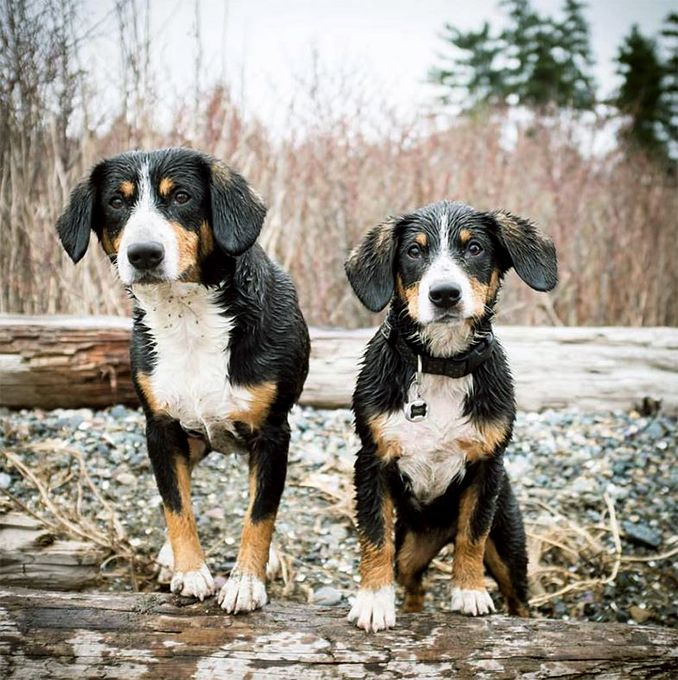 Entlebucher Mountain Dog Breed Information Pictures Characteristics Facts Entlebucher Sennenhund Entlebucher Hunde Welpen