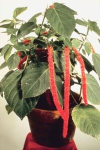 Start Chenille Plants from Cuttings