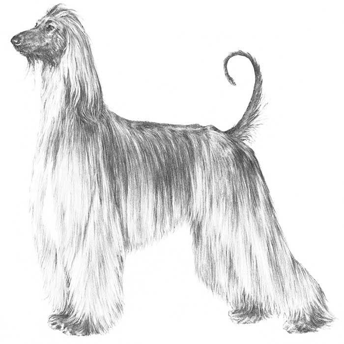 Afghan Hound Dog Breed Information Afghan Hound Dog Breeds