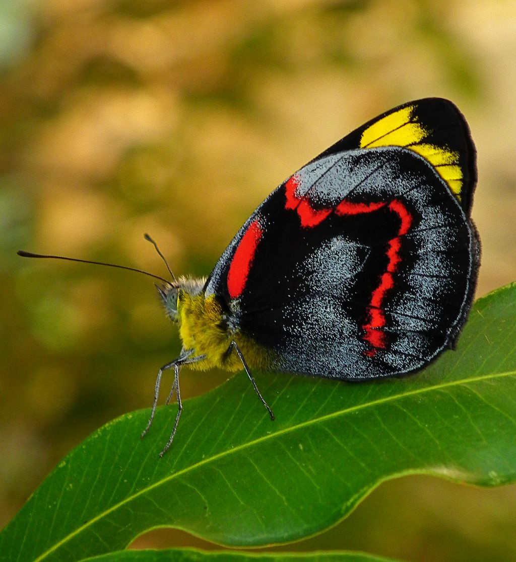 black_jezebel_butterfly.jpg (1024×1117) (With images