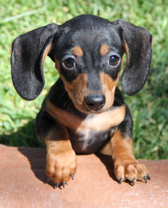 Dachshund Puppies For Sale In Michigan : dachshund, puppies, michigan, Puppies