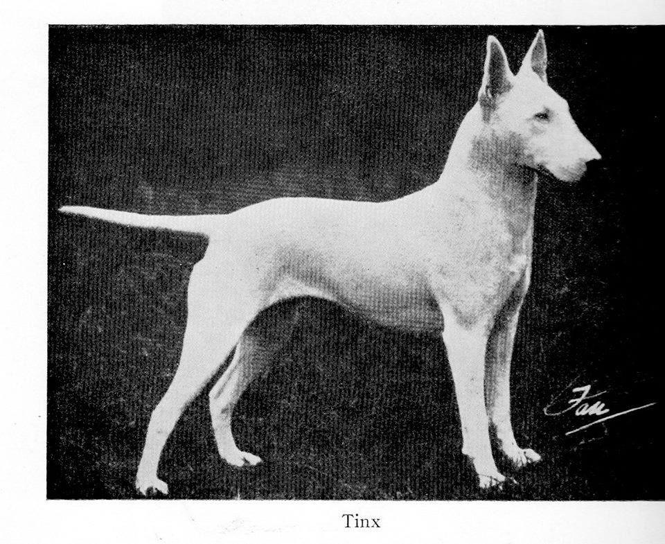 Tinx Bull Terrier Circa 1915 Bullterrier