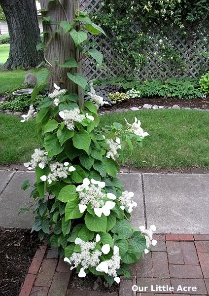 Japanese climbing hydrangea vine cottage garden for Evergreen climbing plants for privacy
