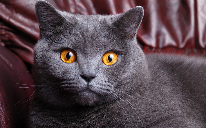 Download Wallpapers British Shorthair 4k Muzzle Gray Cat Cute Animals Cats Domestic Cat British Shorthair Cat Besthqwallpapers Com Cute Cats British Shorthair Cats Grey Cats