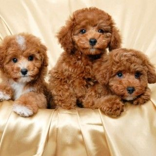 Small Brown Dogs With Curly Hair Curly Hair Puppies For Pinterest