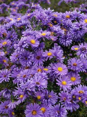 Aster Eventide Michaelmas Daisy Flowers Perennials Plants Perennials