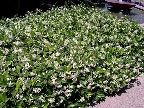trachelospermum jasminoides ground cover google search janet engle pinterest. Black Bedroom Furniture Sets. Home Design Ideas